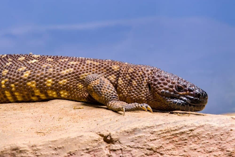 10 Most Venomous Animals - The Mexican beaded lizard, one of the two species of venomous beaded lizards found principally in Mexico and southern Guatemala