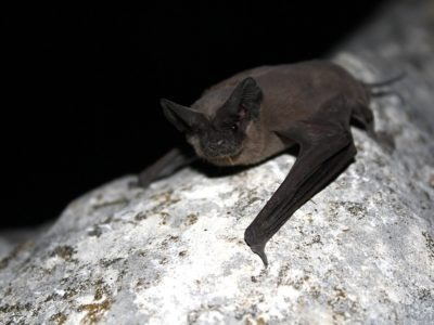 A Mexican Free-Tailed Bat