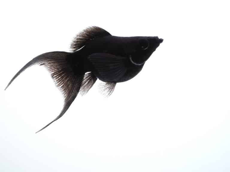 Molly (Poecilia sphenops) - black molly fish