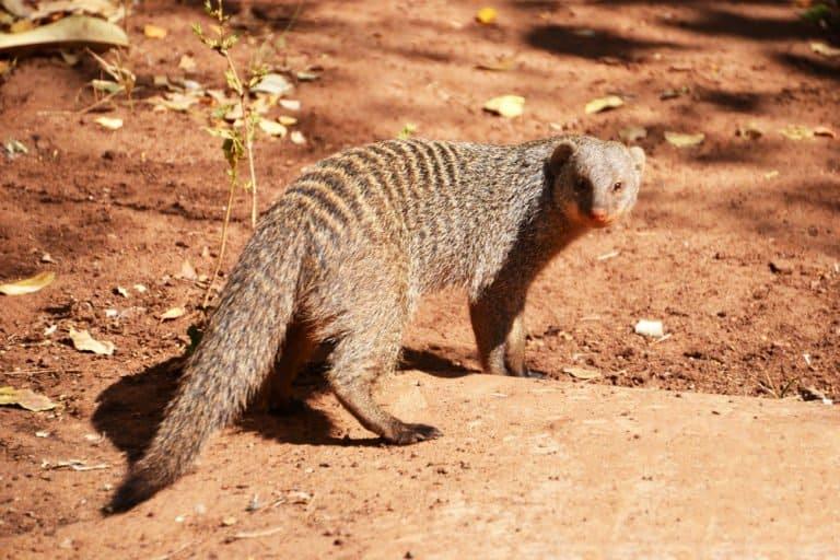 Mongoose (Helogale Parvula) - standing on sandy rock