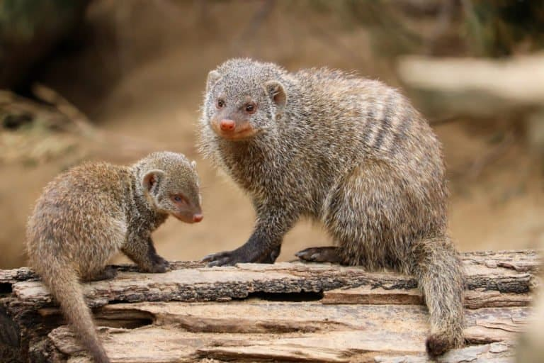 Mongoose (Helogale Parvula) - and baby