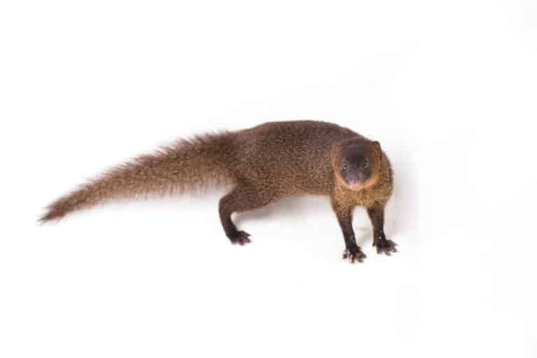 Mongoose (Helogale Parvula) - standing against white background