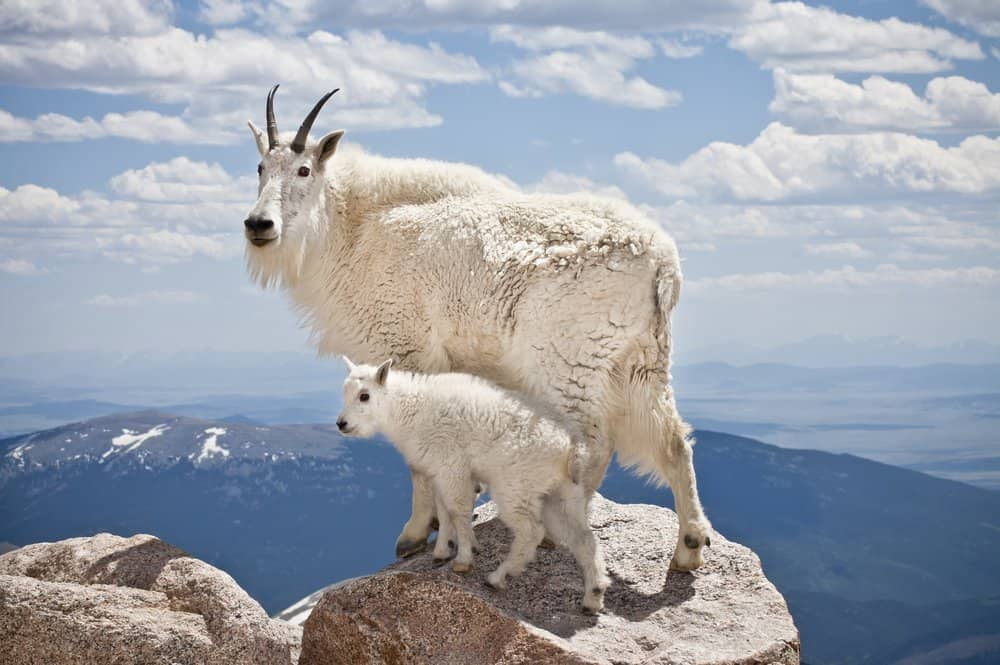 Mountain Goat (Oreamnos americanus) - toughest animal - lives at high altitude