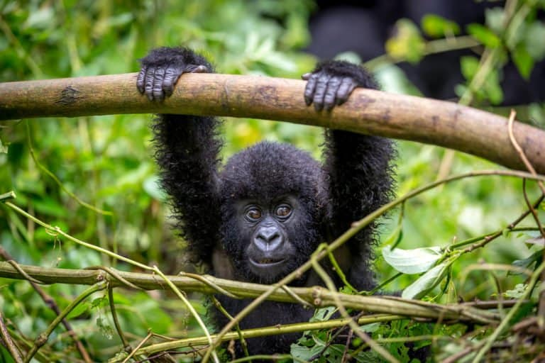 Mountain Gorilla (Gorilla beringei beringei) - baby mountain gorilla on branch