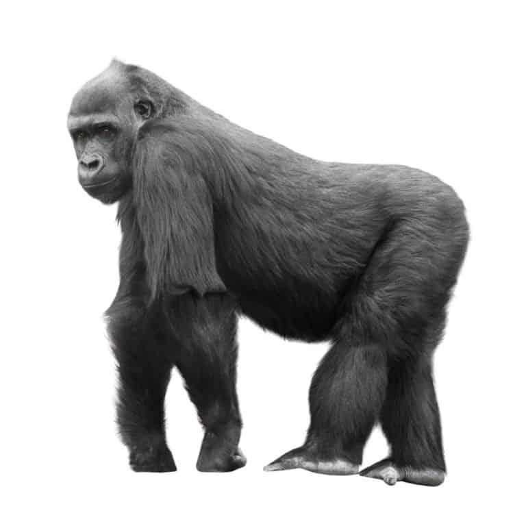 Mountain Gorilla (Gorilla beringei beringei) - silver back mountain gorilla on isloated background