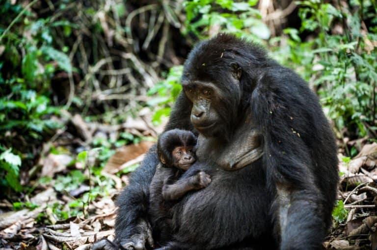 Mountain Gorilla (Gorilla beringei beringei) - mountain gorilla with baby in forest