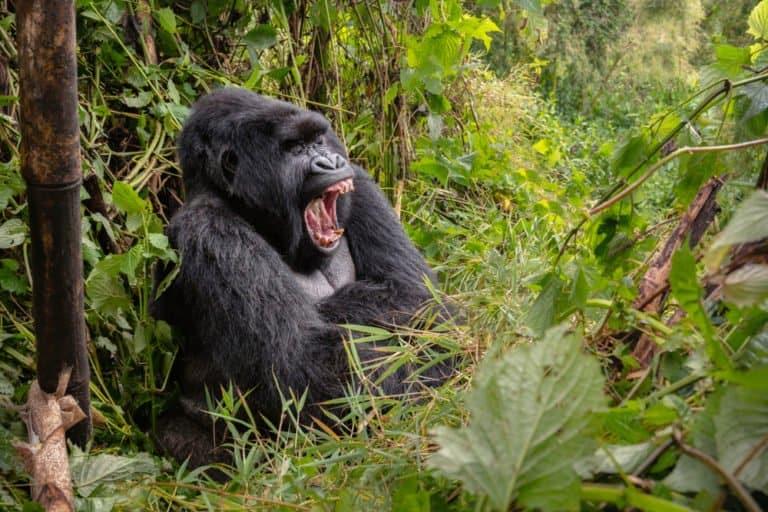 Mountain Gorilla (Gorilla beringei beringei) - yawning in forest