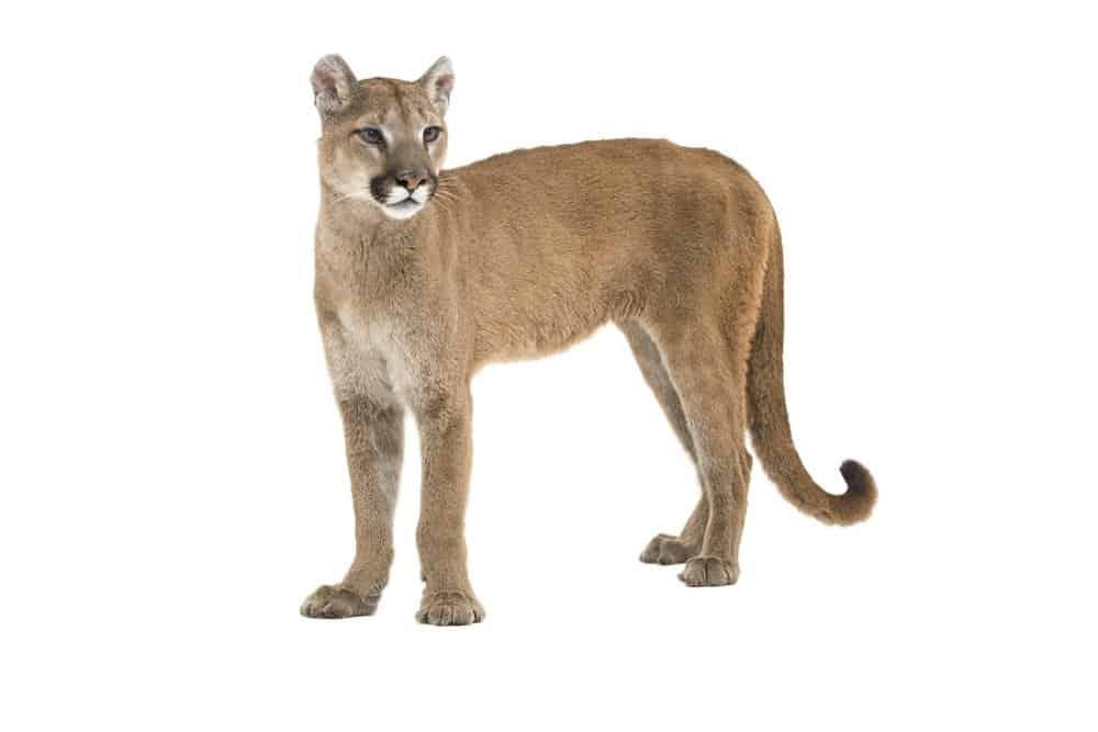 Mountain Lion (Felis Concolor) - standing against white background
