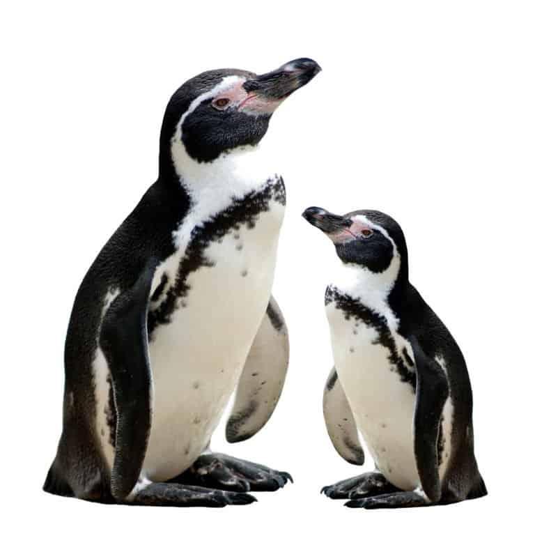 Penguin (Aptenodytes Forsteri) - standing against white background