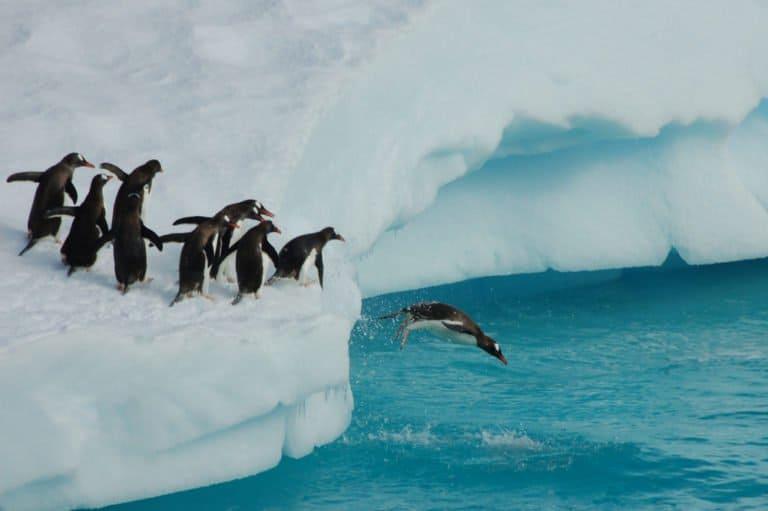 Penguin (Aptenodytes Forsteri) - jumping in water from glacier
