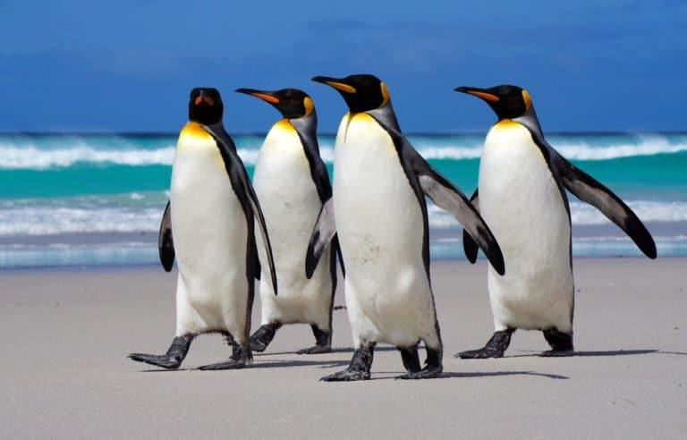 Penguin (Aptenodytes Forsteri) - walking on beach