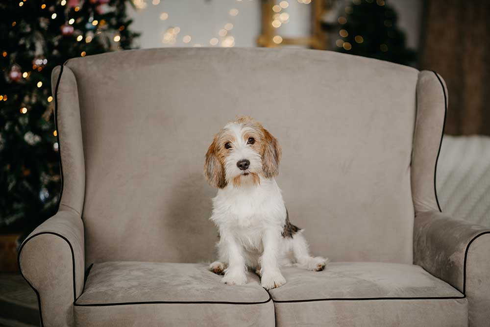 Petit Basset Griffon Vendéen in front of Christmas tree