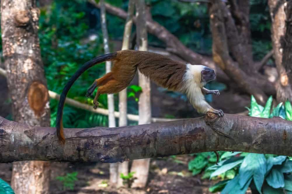 Pied Tamarin (Saguinus Bicolor) - jumping off a tree branch