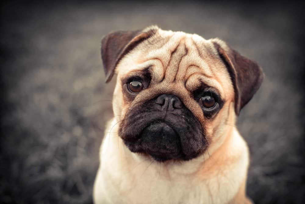 A frowning pug