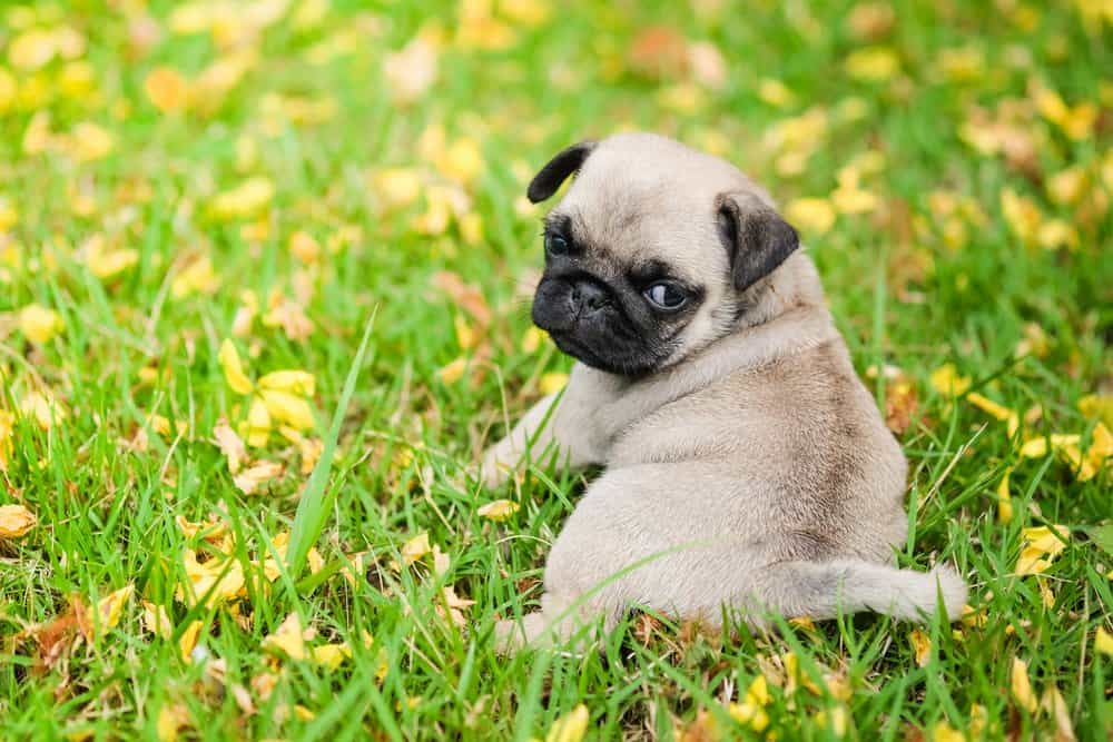 Pug (Canis familiaris) - puppy laying in flowers