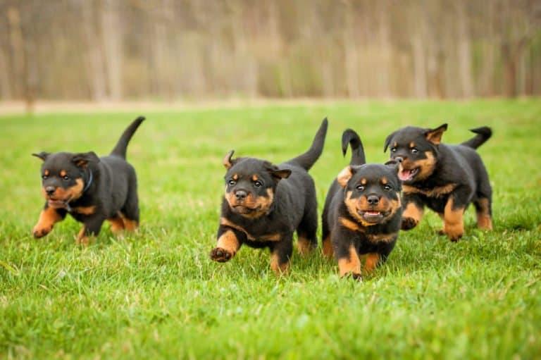 Rottweiler (Canis familiaris) - puppies running through grass