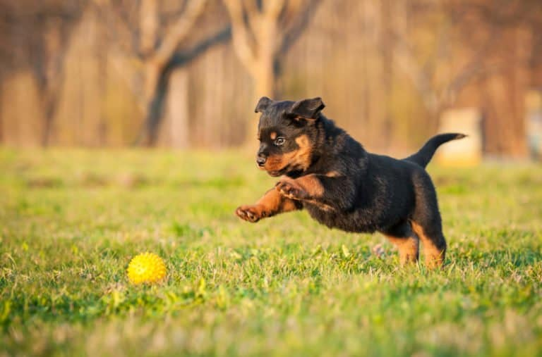 Rottweiler (Canis familiaris) - puppy chasing ball