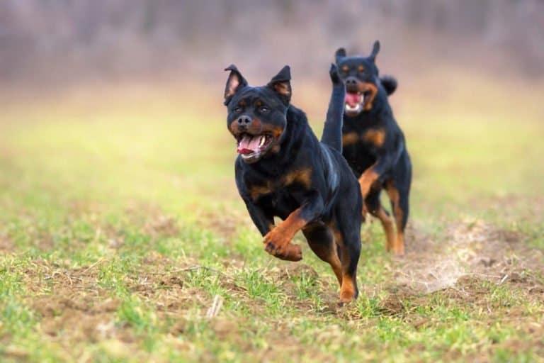 Rottweiler (Canis familiaris) - running through field