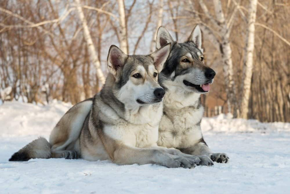 Beautiful male and female of Saarloos wolfdog in the winter park