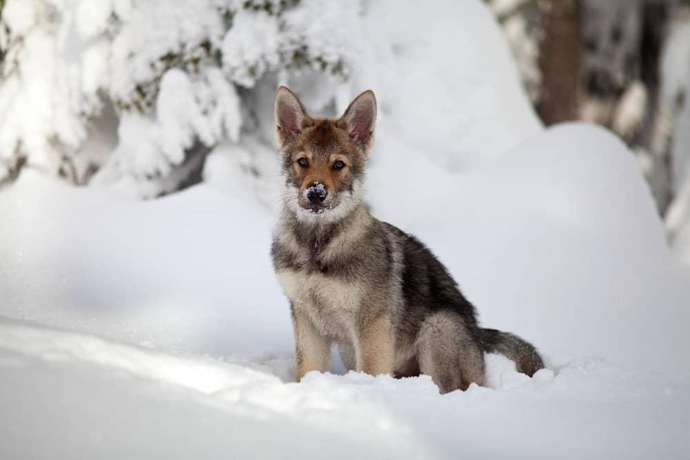Saarloos wolfdog puppy in snow