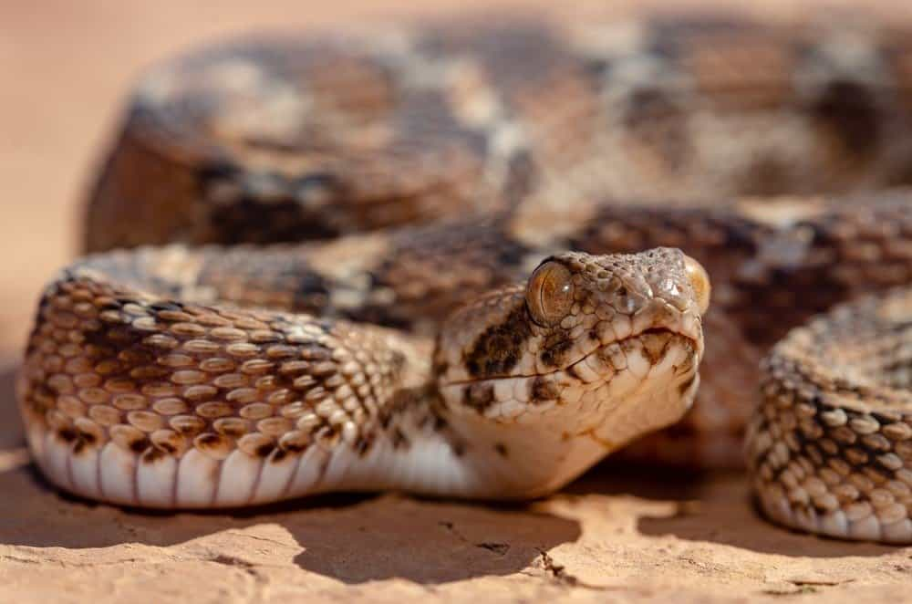 10 Most Venomous Animals - The Roman's Saw scaled Viper is the most dangerous snake in Africa and Asia