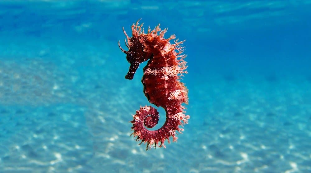 Seahorse (Hippocampus) - red and white floating swimming