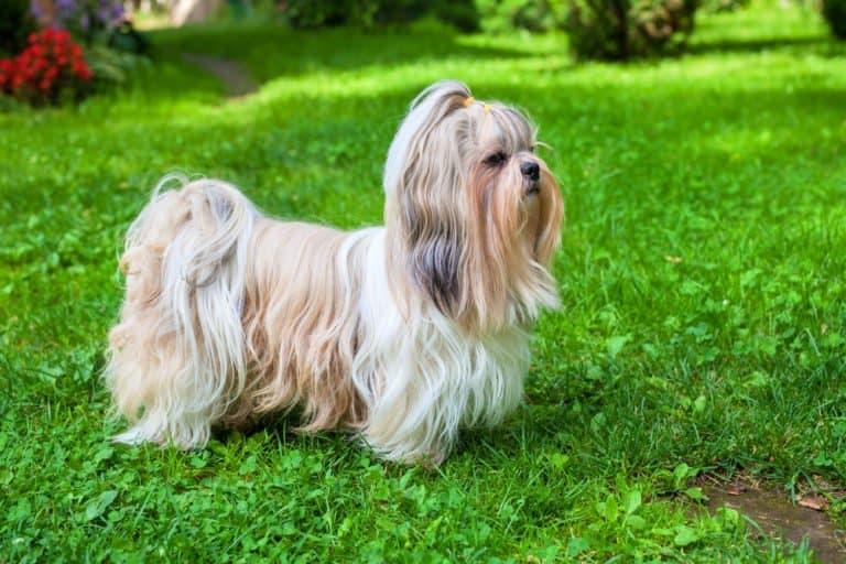 Shih Tzu (Canis familiaris) - standing in grassy field