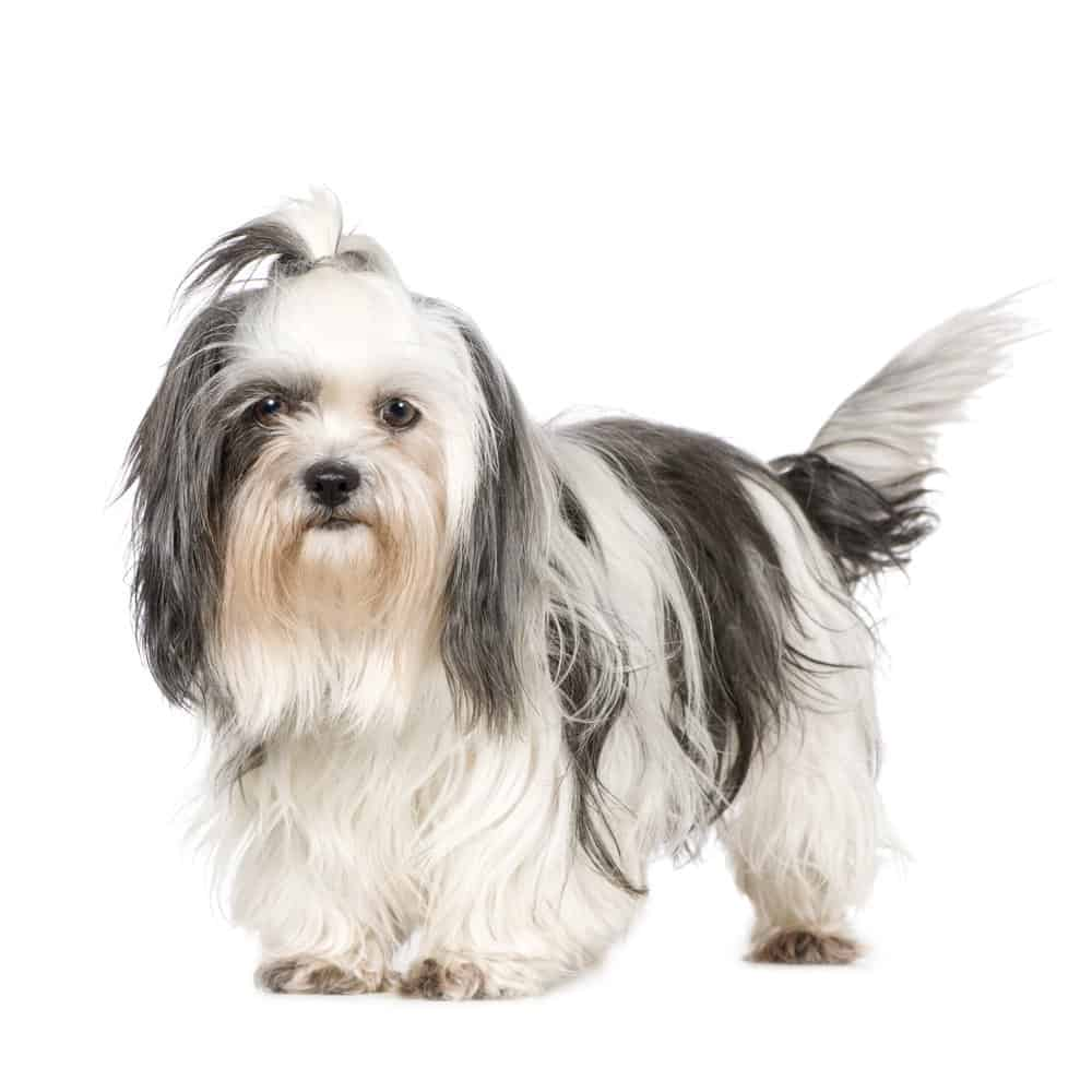 Shih Tzu (Canis familiaris) - standing against white background