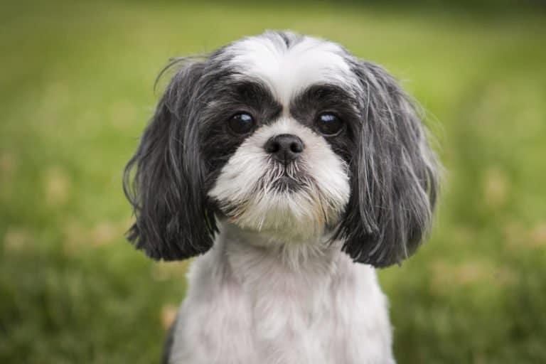 Shih Tzu (Canis familiaris) - portrait