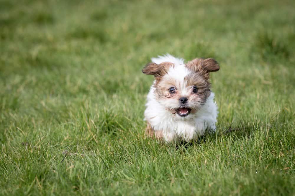 Shih Tzu (Canis familiaris) - puppy running