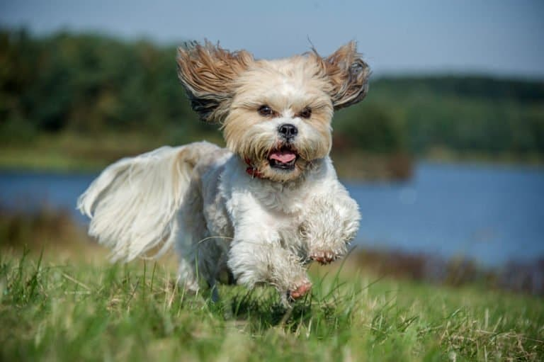 Shih Tzu (Canis familiaris) - running through grassy field near lake