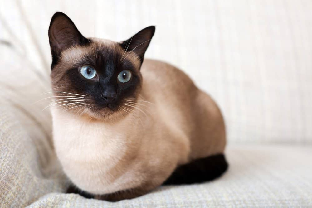 Siamese Cat (Felis catus) - friendliest feline