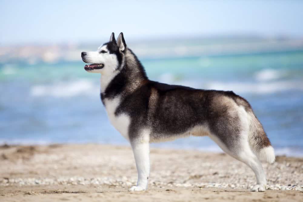 Siberian Husky at the beach