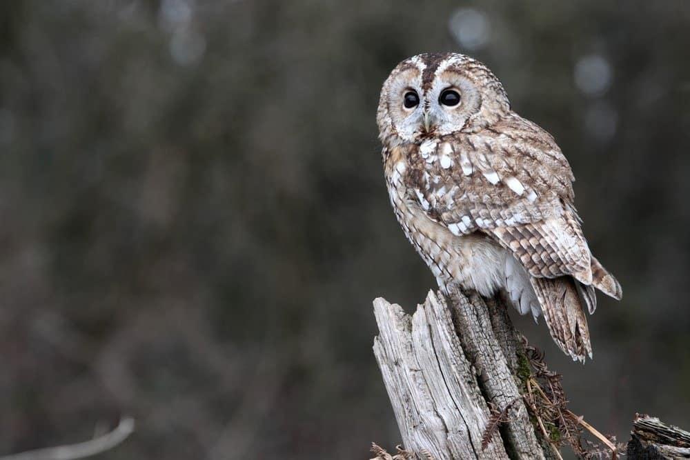 Tawny owl, single bird on stump