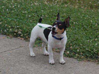 A Teddy Roosevelt Terrier