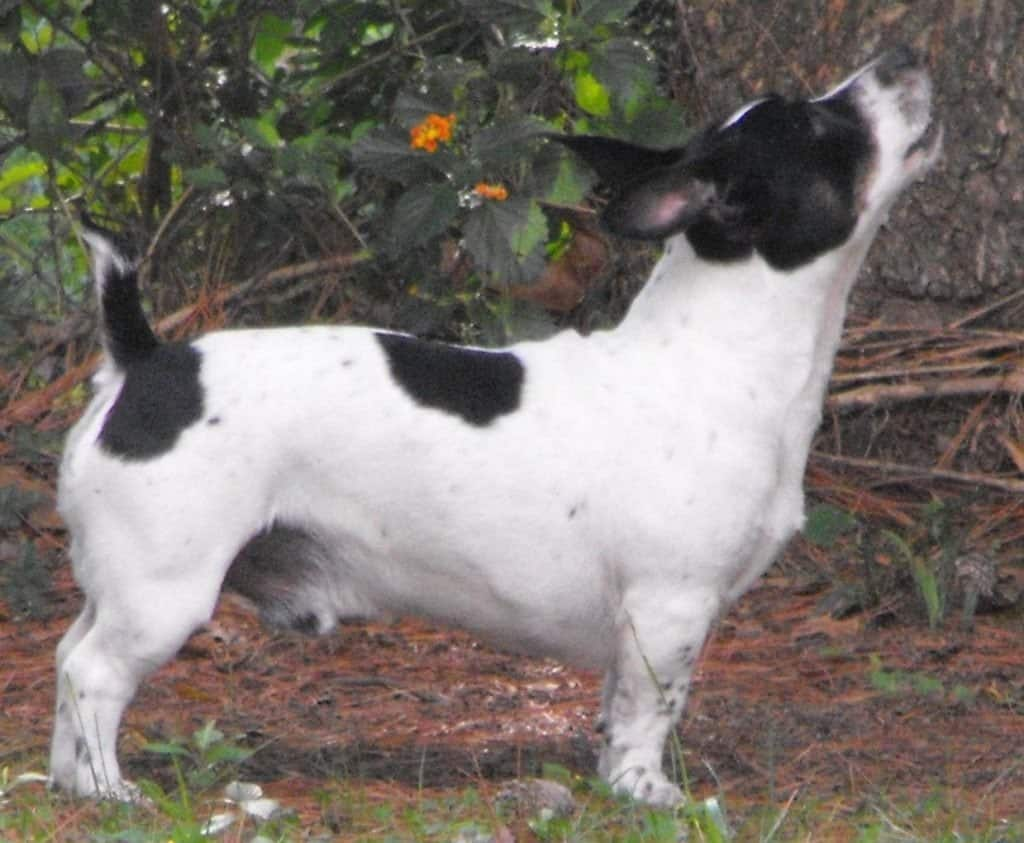 Adult Male Teddy Roosevelt Terrier