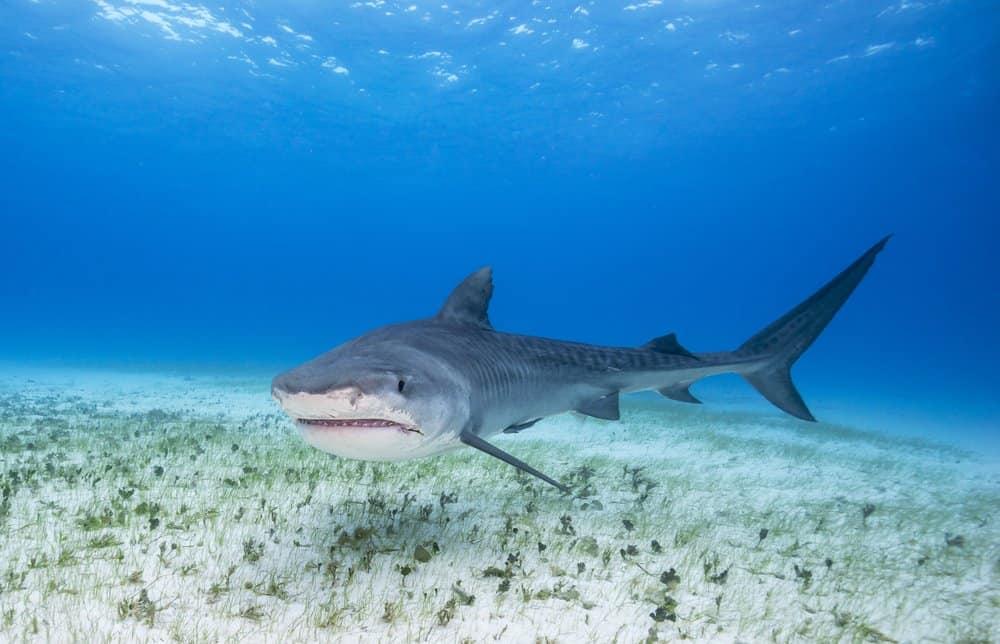 Tiger Shark (Galeocerdo Cuvier) - swimming in ocean