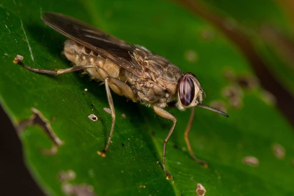 Tsetse Fly (Glossina) - deadly animal to humans - kills about 10,000 humans per year