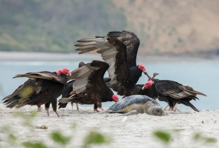 American Black Vulture (Coragyps atratus) and Turkey Vultures (Cathartes aura) feeding on a Green Turtle (Chelonia mydas)