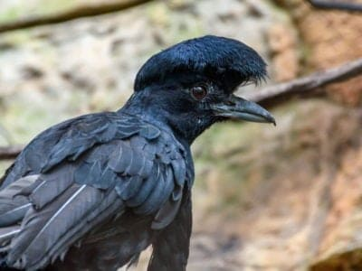 A Umbrellabird