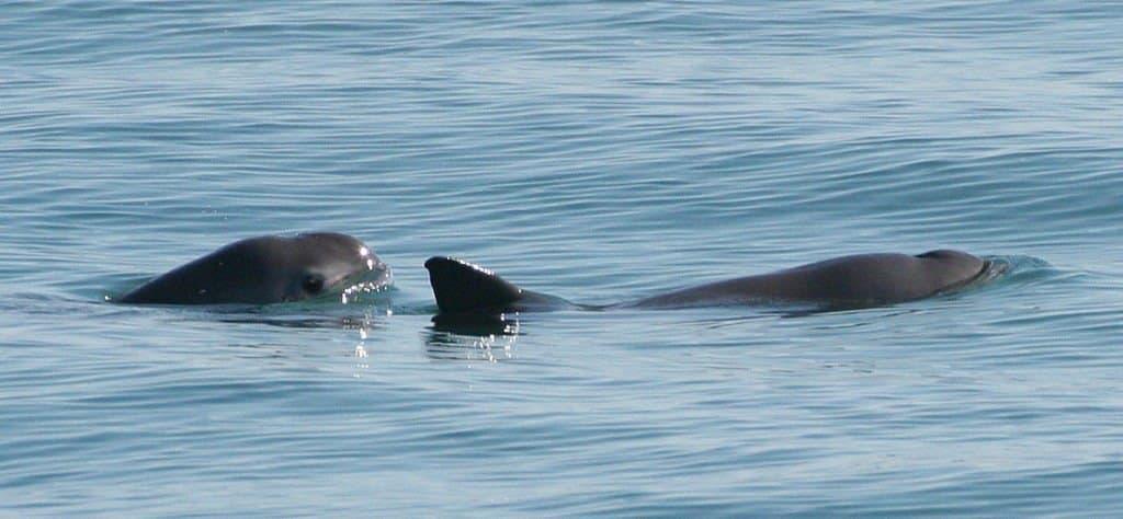 Pair of vaquita swimming