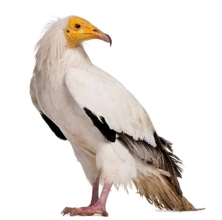 Egyptian Vulture, Neophron percnopterus, standing in front of white background
