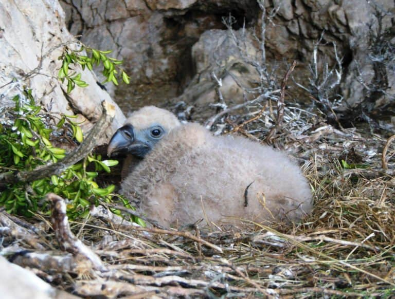 Vulture baby in nest