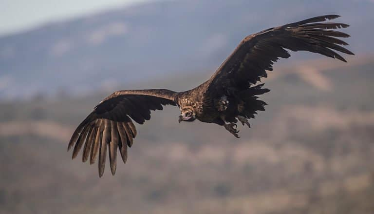 Eurasian black vulture - in flight by mountains