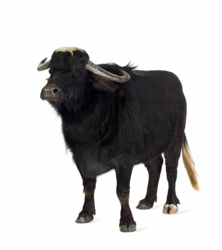 Domestic Asian Water buffalo - Bubalus bubalis in front of a white background