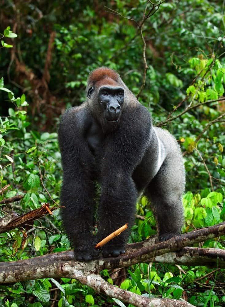 Western Lowland gorilla in a tree