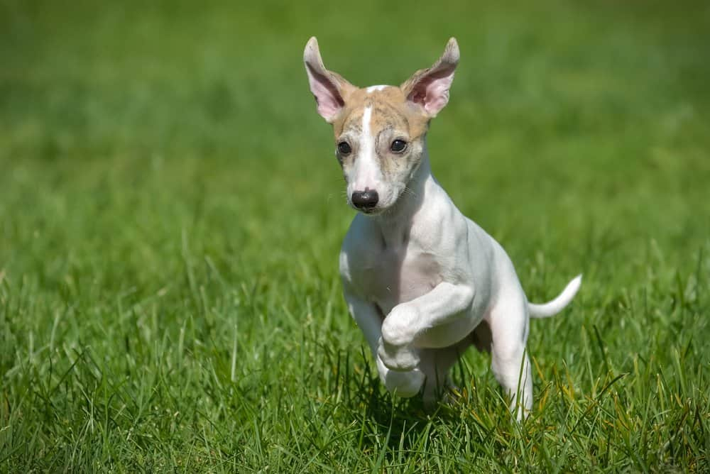 Whippet (Canis familiaris) - puppy running in grass