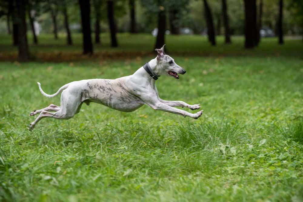 Whippet (Canis familiaris) - running through grass