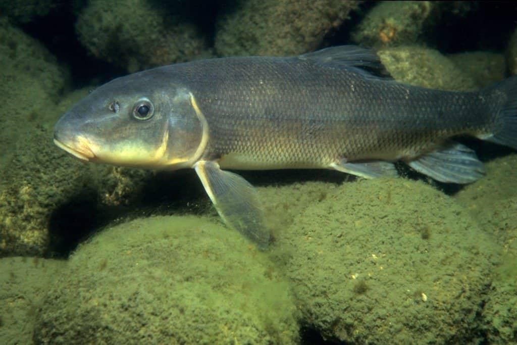 White Sucker Fish
