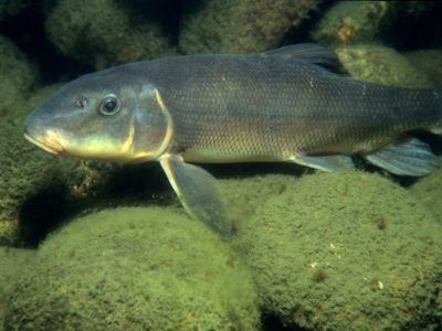 A Sucker Fish